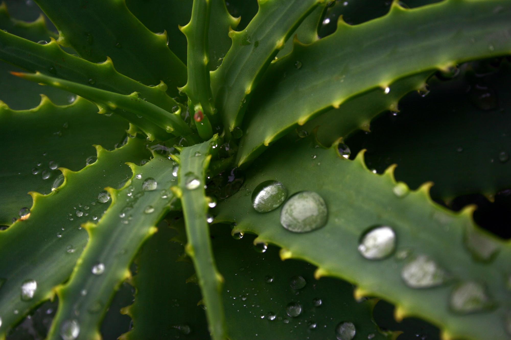 Aloe vera prodotti for Tipi di aloe